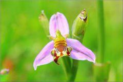 ...Ophrys Abeille...(apifera)