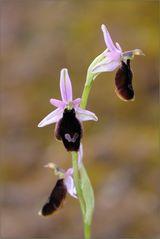 ~ Ophrys balearica ~
