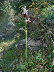 Ophrys balearica