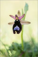 ~ Ophrys bertolonii ~