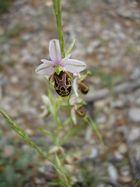 Ophrys de Saintonge