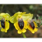 ophrys jaune