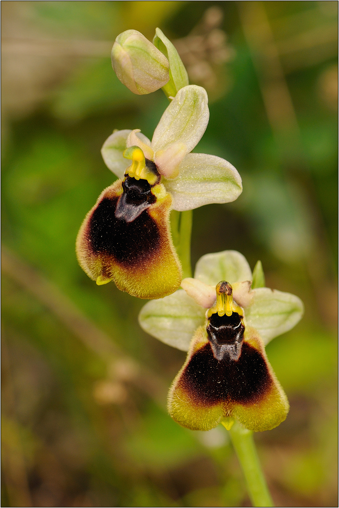 Ophrys normanni (2)