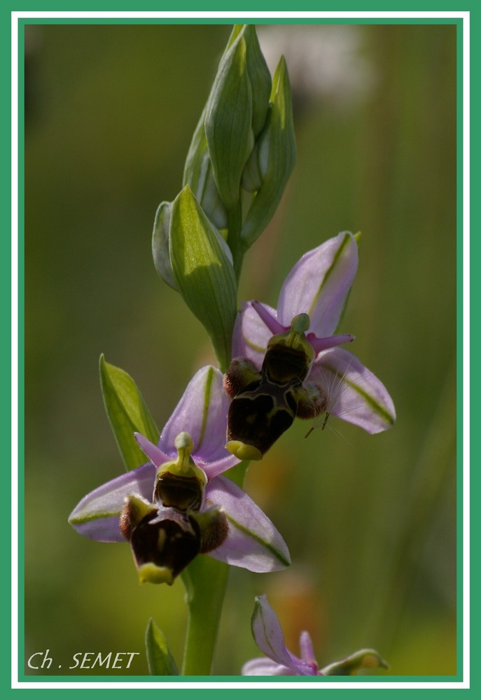 ophrys scolopax (becasse)