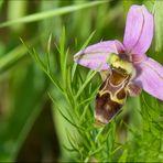 Ophrys vetula