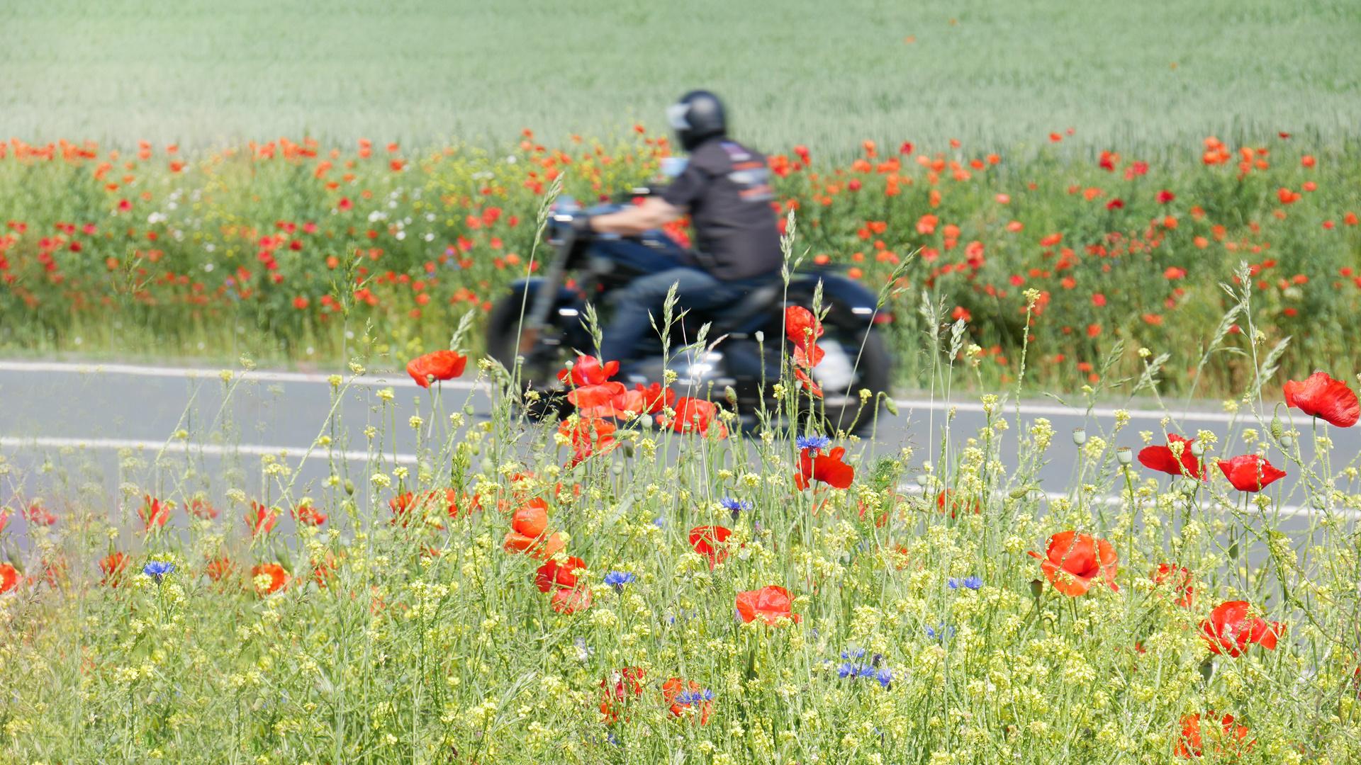 opium poppy rider