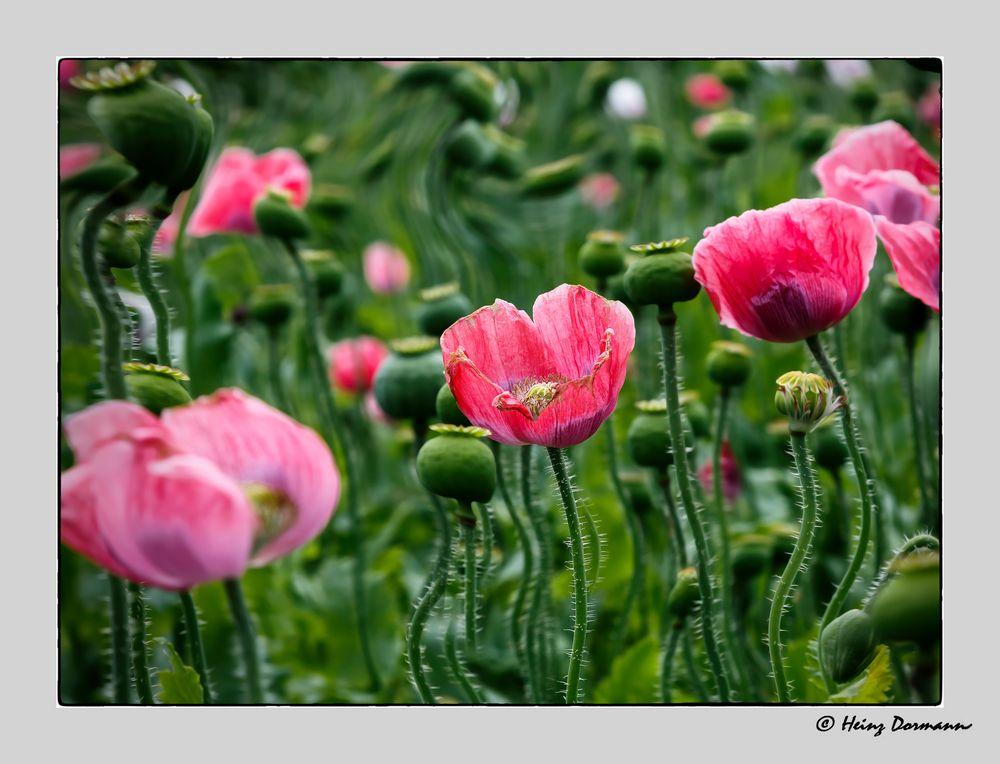 Opiumfeld_ natürlich Mohn ;o))
