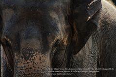 Oppel und der Elefant