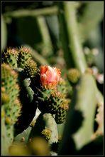 Opuntien Blüte