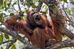 Oran Utan in Borneo