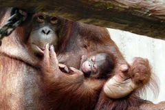 Oran-Utan-Mama mit ihrem Baby