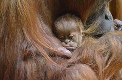 "Orang Utan Baby Tierpark München ""Hellabrunn"""