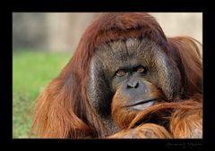 Orang Utan im Berliner Zoo