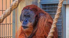 Orang Utan im Dresdner Zoo wobei ich bei diesem ersten Besuch seit vielen Jahren...