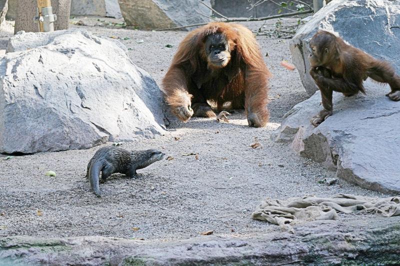 Orang Utan & Otter - wer bekommt die Möhre ? -