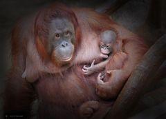 Orang-Utan Weibchen Lea mit Baby.....
