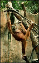 Orang Utan   Zoo Leipzig