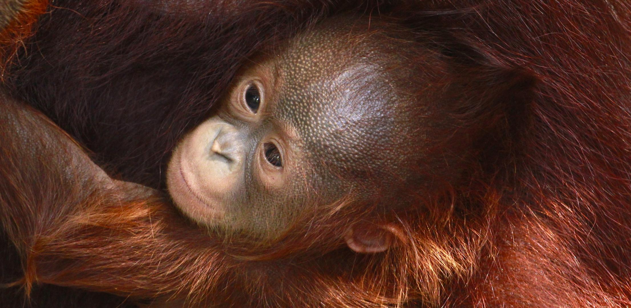 Orang utan/Menschenaffen