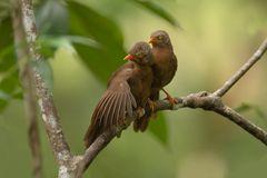 Orange-billed Babbler ( Argya rufescens )