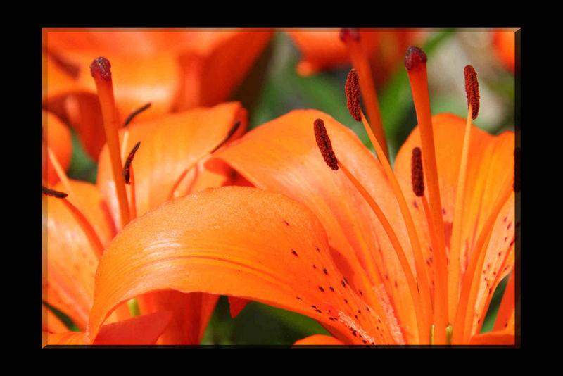 orange Blütenpracht