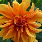 Orange Dahlie...