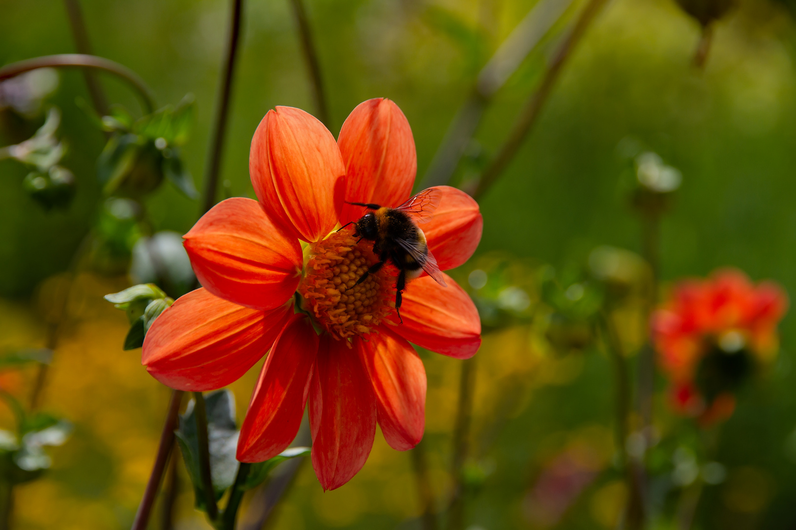 Orange Dahlie