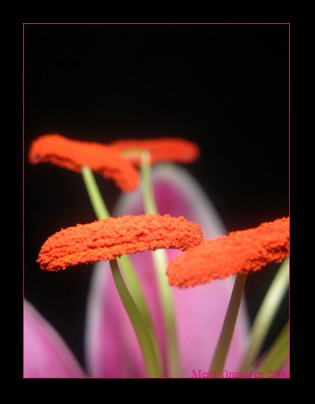 orange dreams