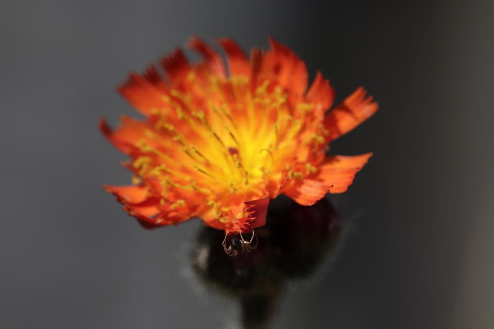 Orange hawk bit with a spider