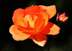 orange Lady