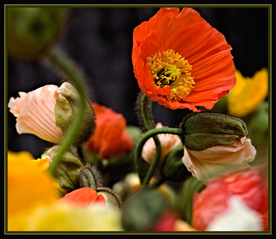 Orange Poppy and Co.