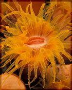 Orange Rohrkoralle