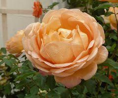 orange Rose mit Tropfen