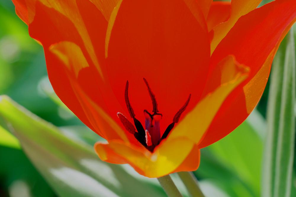 orange-rote Tulpenorgie