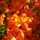 Orange sunny azalea