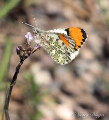 Orange Tip Butterfly   -   Amerikanischer Aurorafalter