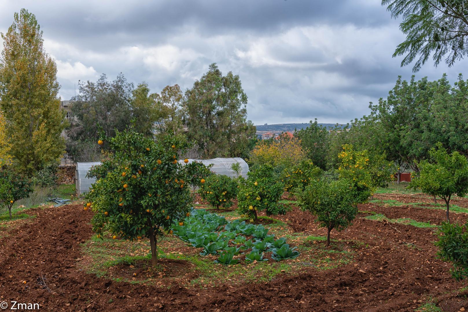 Orange Trees LAN_4898-6