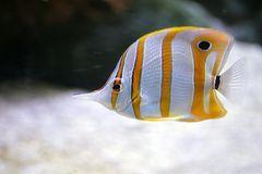 Orangebinden-Pinzettfisch oder Kupferbinden-Pinzettfisch