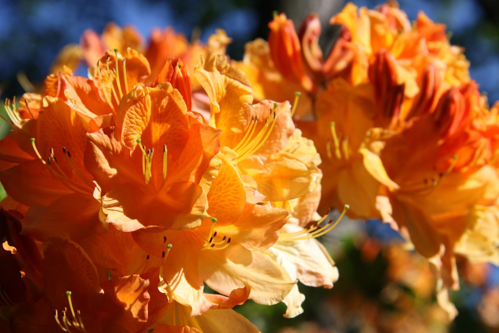 Orangefarbene Rhododendren
