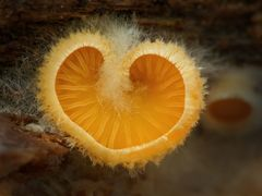 ...Orangen-Herz-Seitling...