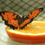Orangen-Schmetterling