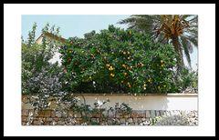 Orangenbäumchen auf Mallorca