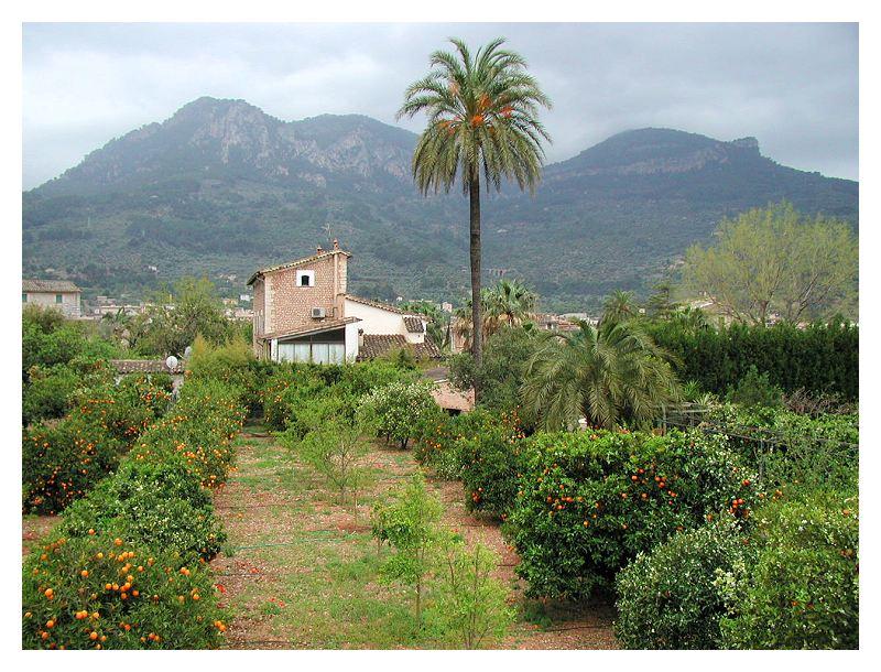 Orangenbäume bei Soller, Mallorca
