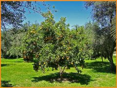 Orangenbaum in der Türkei