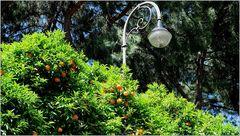 ... Orangenbaumbeleuchtung ...
