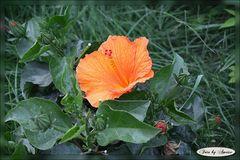 Orangene Hibiskusblüte