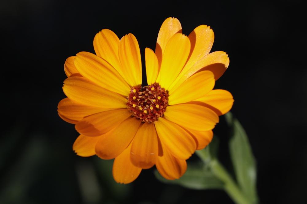 orangene Ringelbume