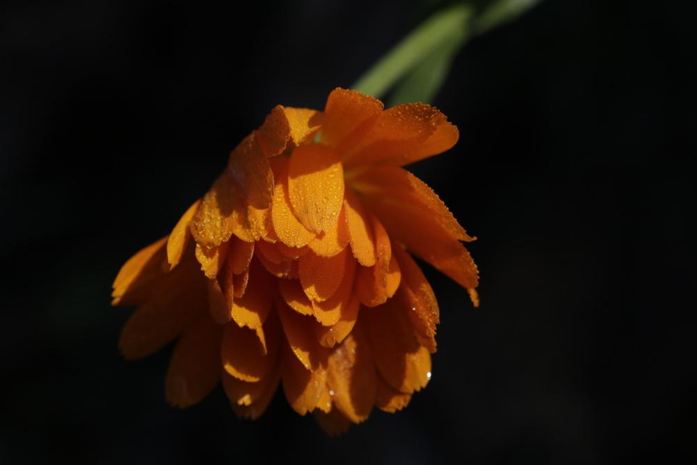 Orangene Ringelbume im Garten