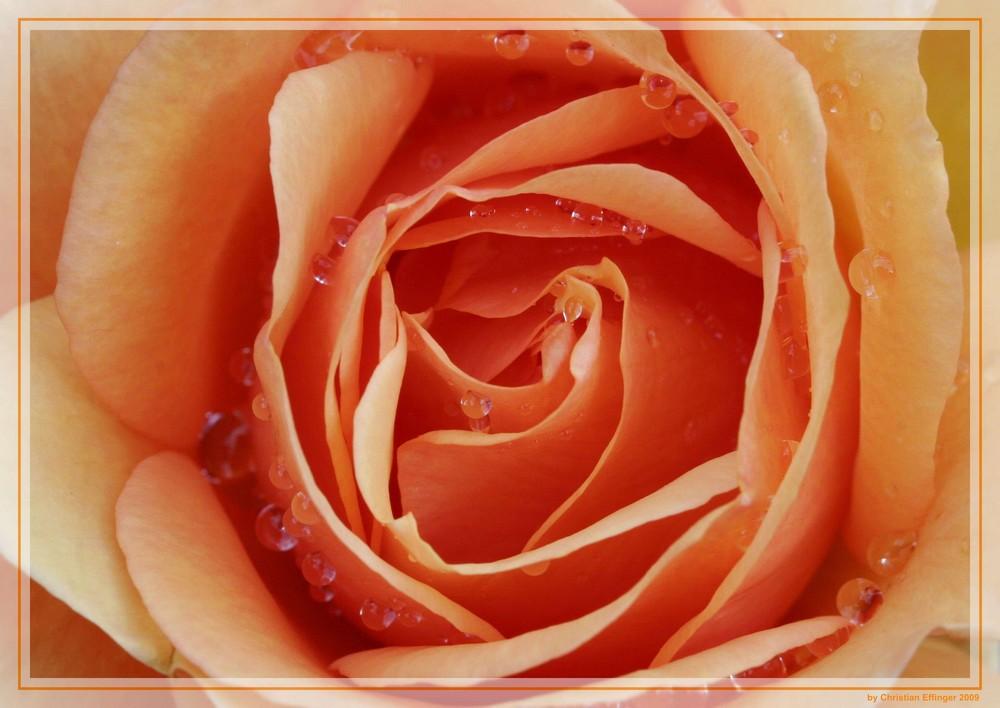 Orangene Rose nach dem Regen