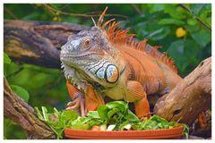 Oranger Leguan männlich