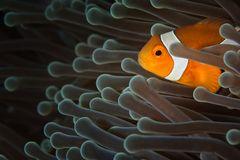 Orangeringel Anemonenfisch